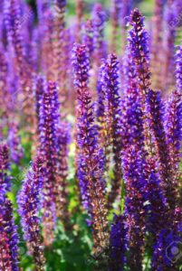 14342090-field-of-fresh-purple-flowers-of-salvia-officinalis-in-the-garden-stock-photo