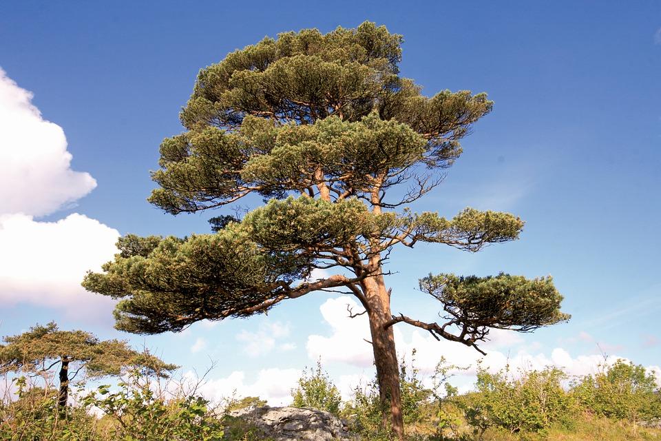 scots-pine-1103363_960_720