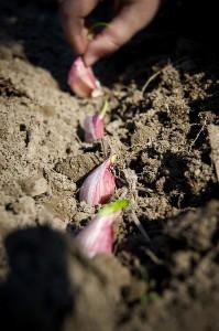 Garlic-planting-