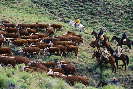 argentina-cows