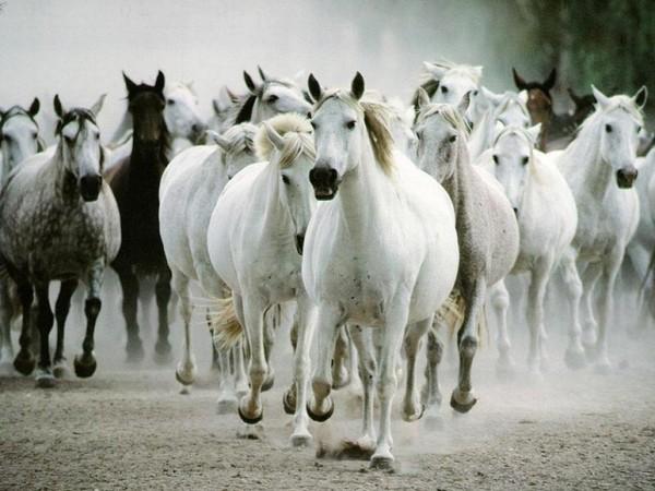horses runningl
