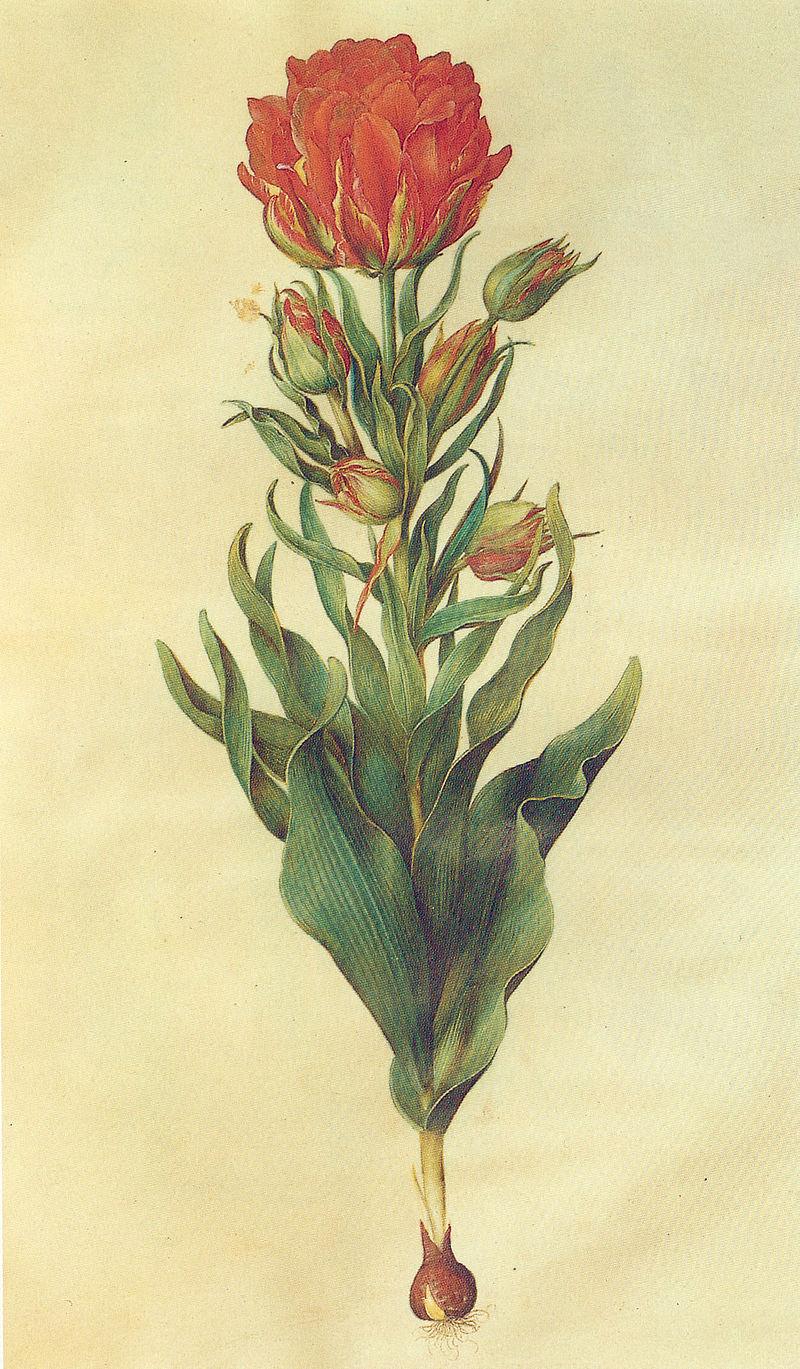 800px-Gc15 tulipa multiflora