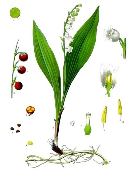 Convallaria majalis - Köhlers Medizinal-Pflanzen-045
