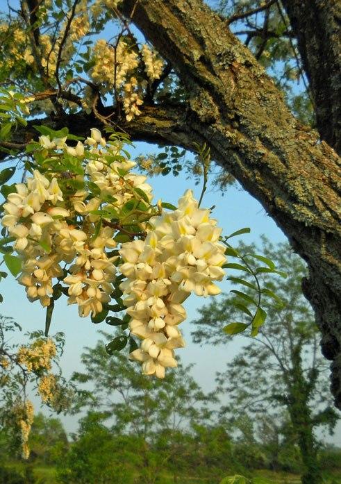 Locust-Bloom