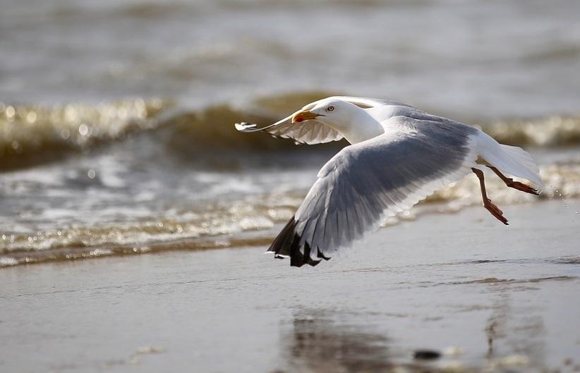 seagull-2654561_1280